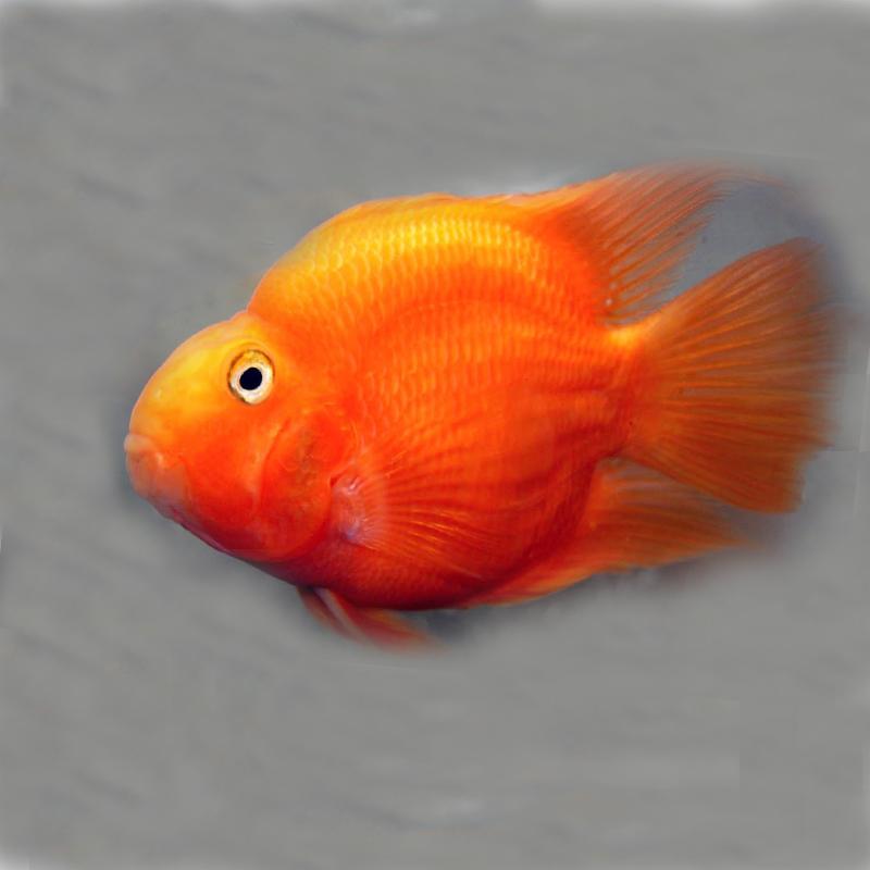 blood red parrot cichlid machali bazaar मछल ब ज र